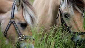 Sommergræsning for heste på Bondegaarden i Østrup