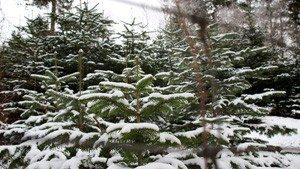 Fæld selv juletræer, på Bondegaarden ved Gundsømagle Sø lidt nord for Roskilde i Nordsjælland.