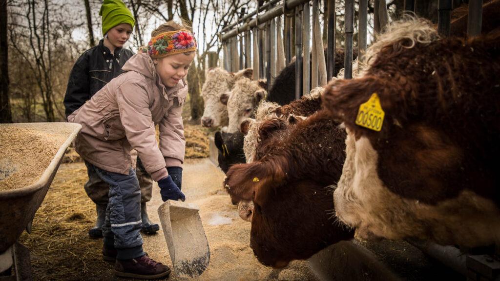 Pige fodrer en ko